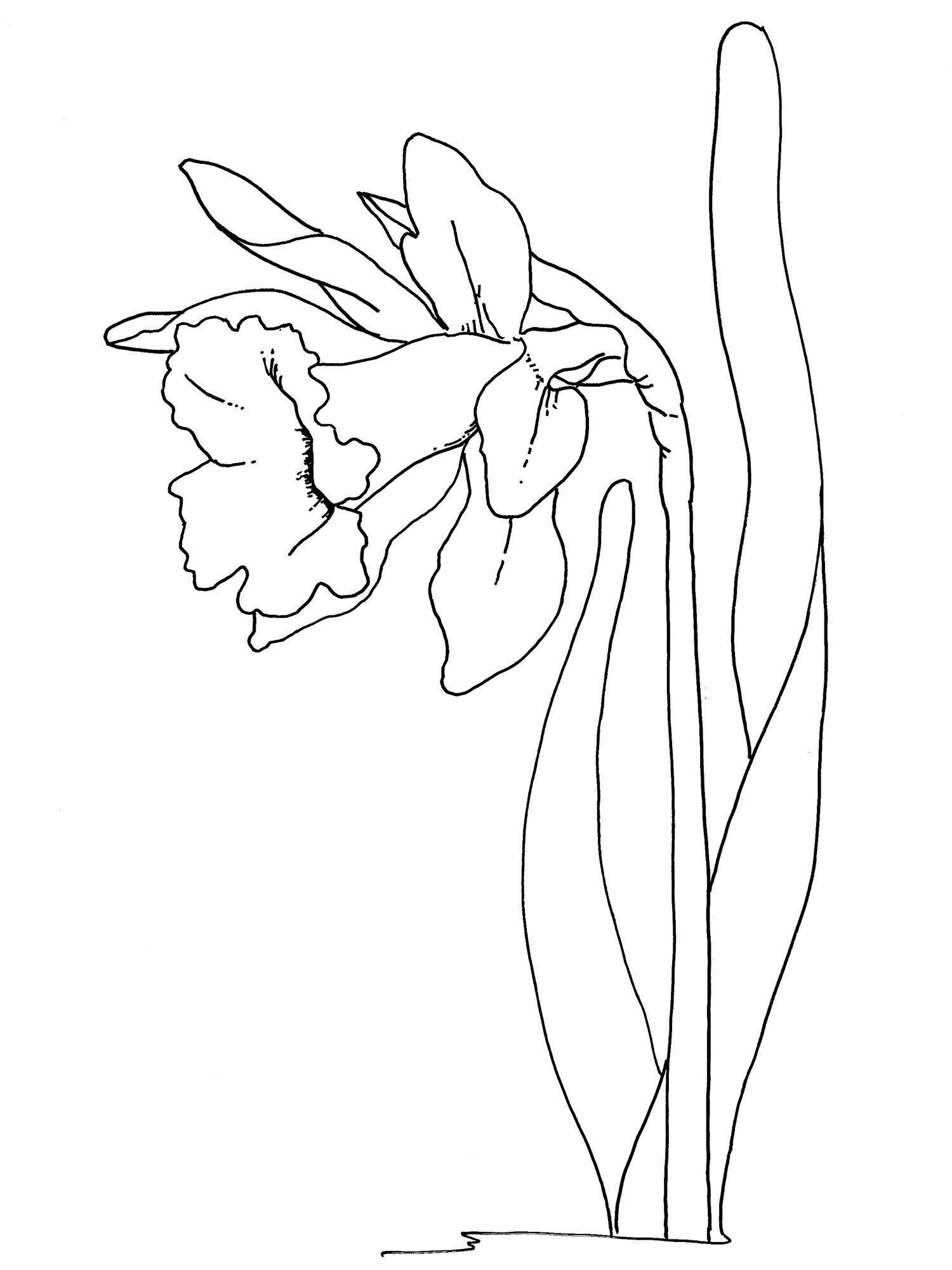 Easter Flowers Coloring Pages – Daffodil Coloring Pages by the Collection Of Daffodil Coloring Pages Gallery