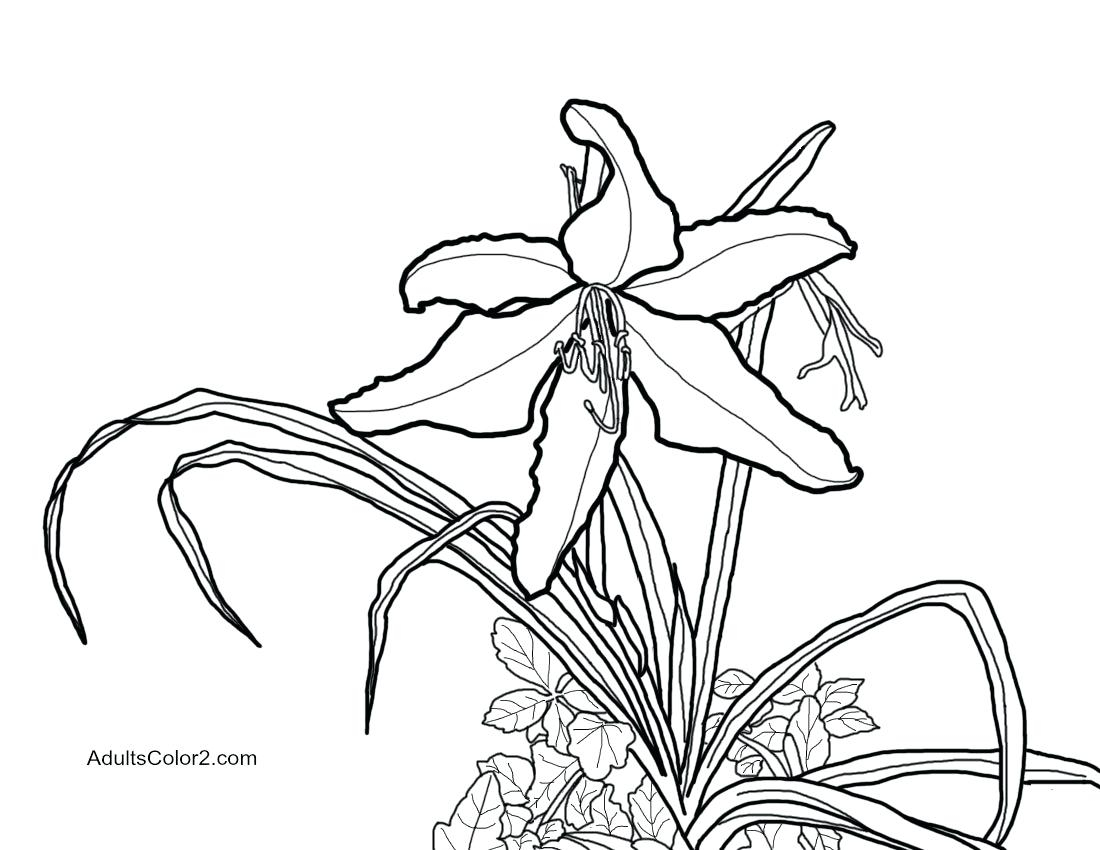 Modern Daffodil Template Printable Motif Entry Level Resume Collection Of Daffodil Coloring Pages Gallery