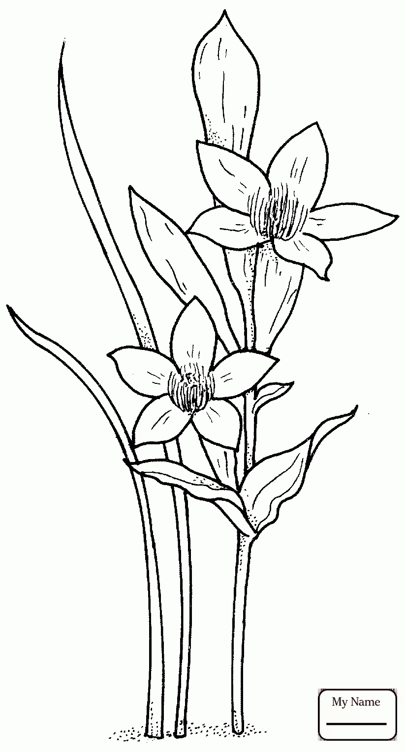 New Daffodil Coloring Pages Design Collection Of New Daffodil Flower Coloring Pages Collection Printable