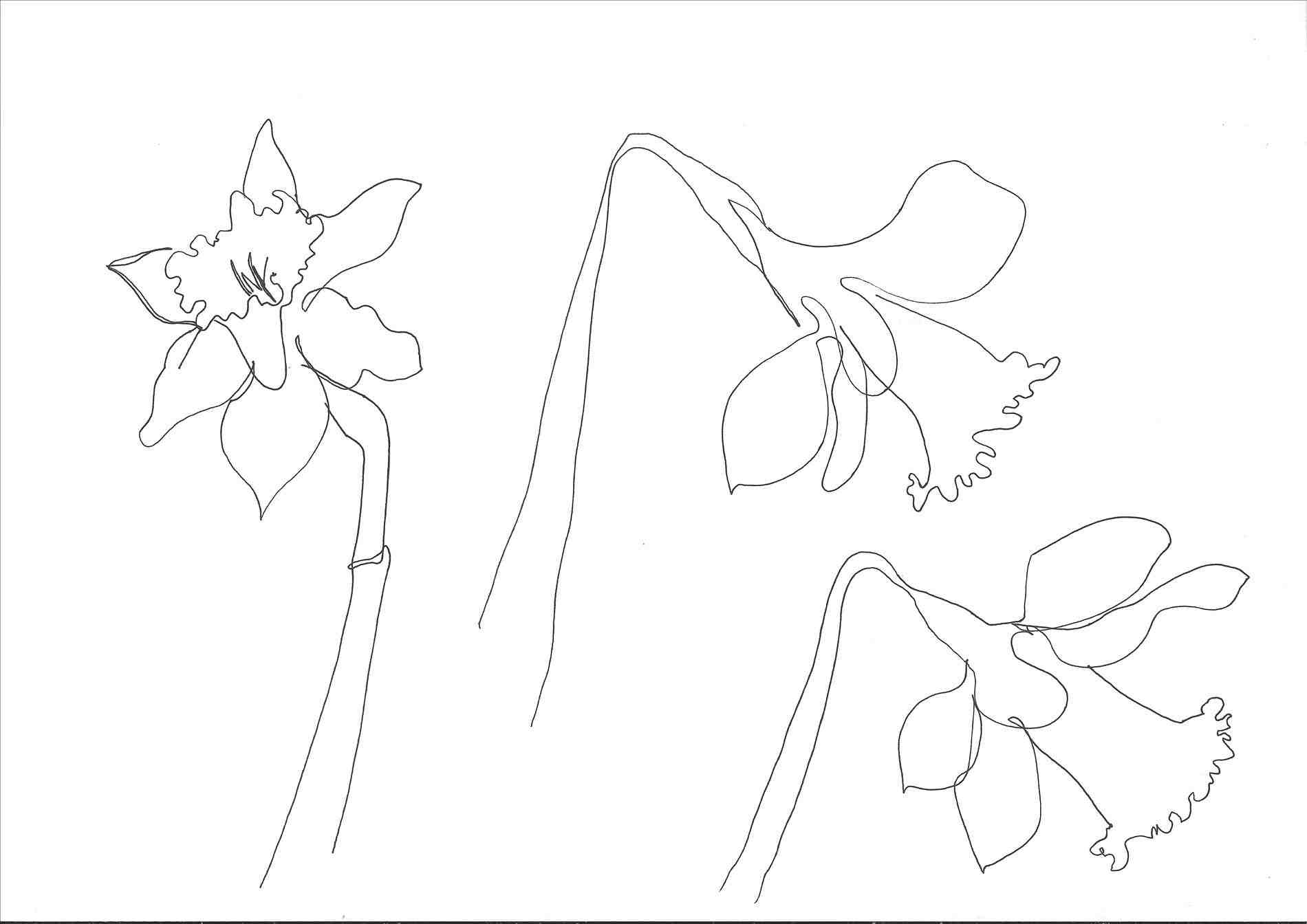 Nice Daffodil Coloring Page Position Coloring Pages Animals Download Of Daffodil Coloring Pages Gallery