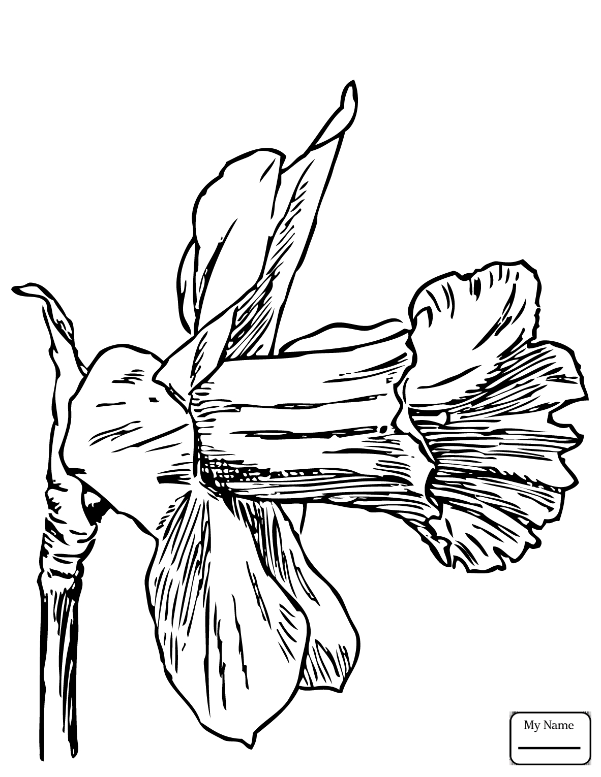 Shocking Coloring Daffodil Narcissus Jonquil for Flower Page Collection Of Daffodil Coloring Pages Gallery