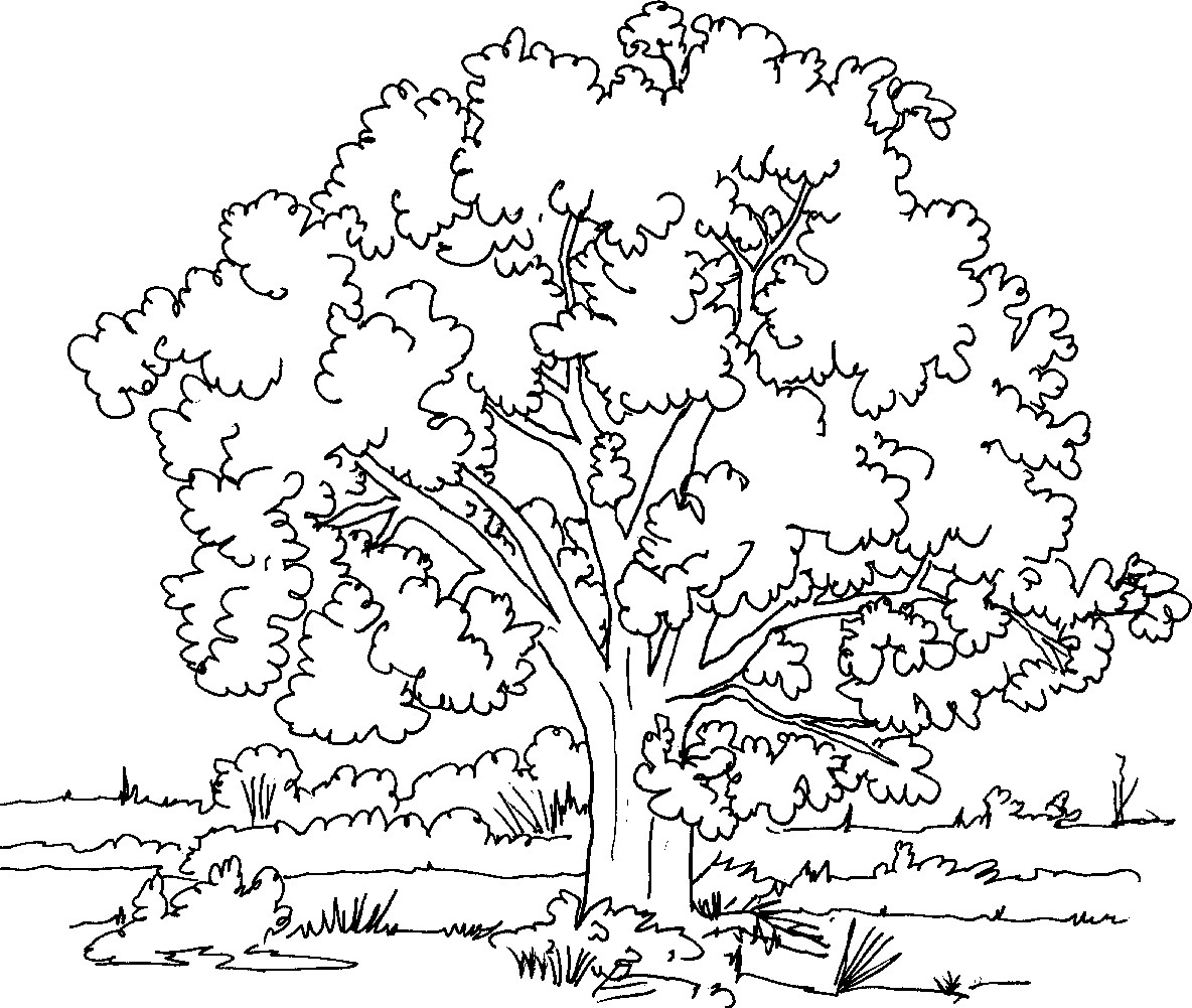 Tree Coloring Page Pages Trees Bloodbrothers Me Ribsvigyapan Fee Gallery Of Noted Coloring Picture A Tree Pages Unknown Resolutions Printable
