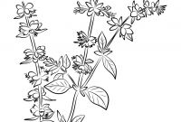 Herbs Coloring Pages - Basil Herb Coloring Page Collection