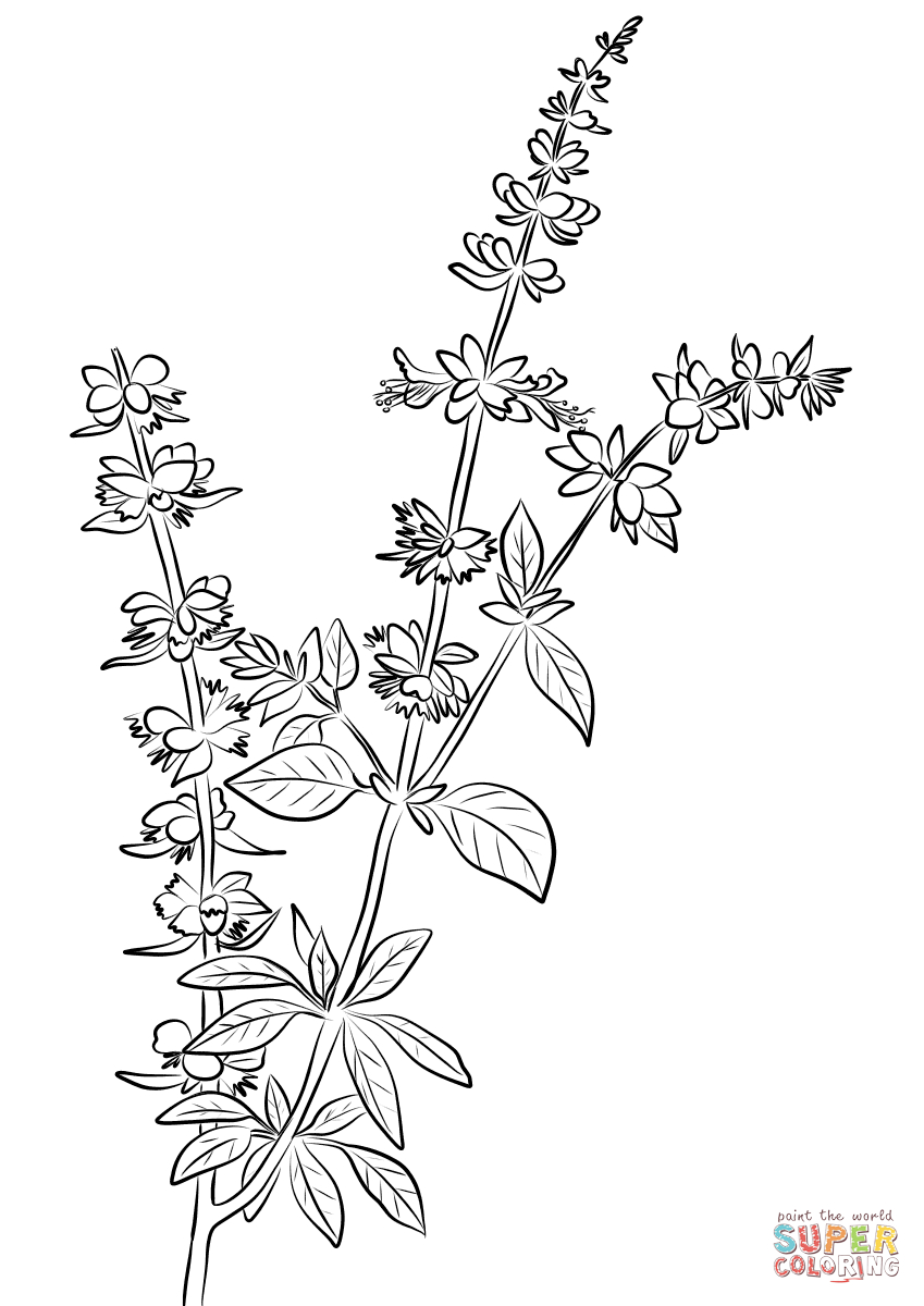 Basil Herb Coloring Page Collection Of Blooming Herbs Coloring Page Ultra Coloring Pages Download