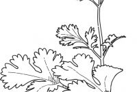 Herbs Coloring Pages - Cilantro Coriander Coloring Page Coloring Pages Misc to Print