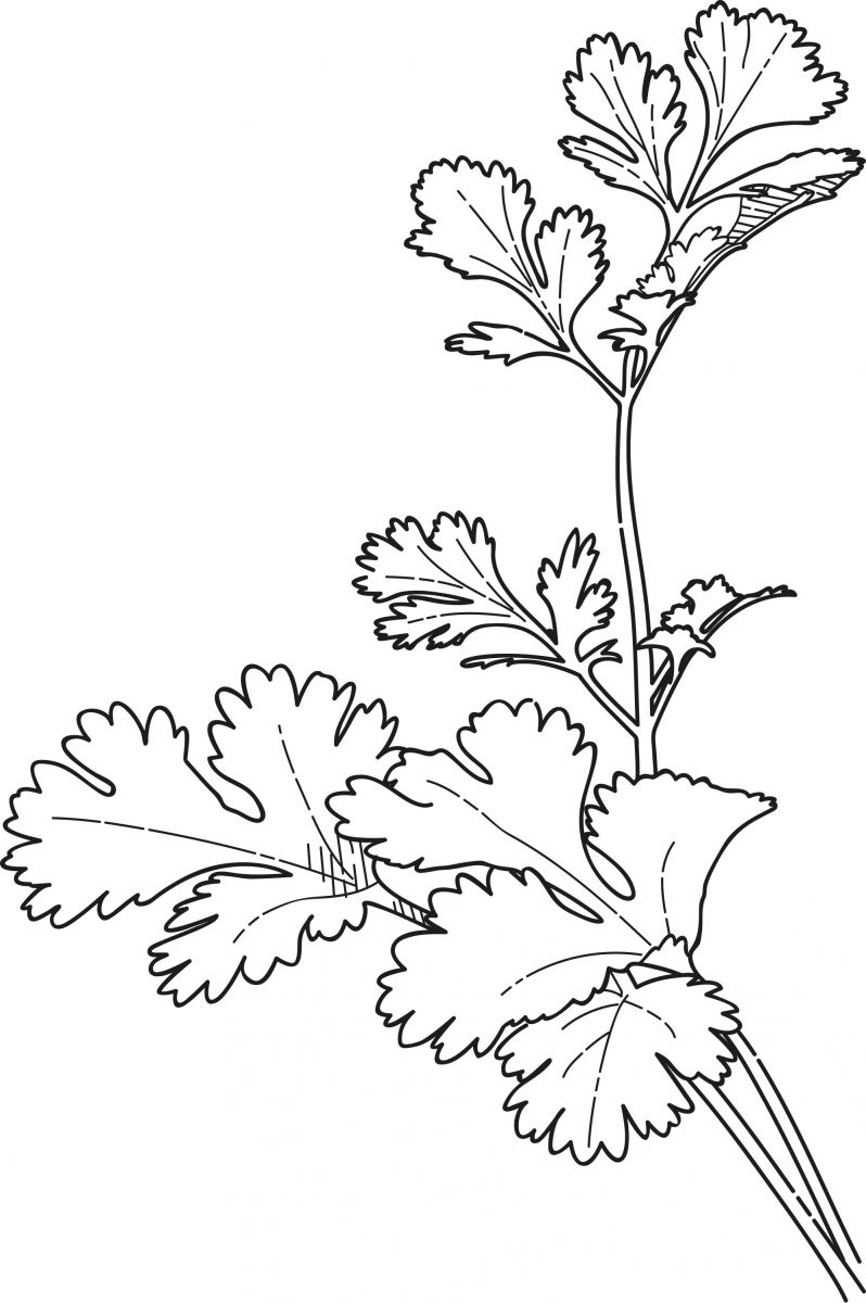 Cilantro Coriander Coloring Page Coloring Pages Misc to Print Of Blooming Herbs Coloring Page Ultra Coloring Pages Download
