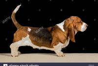 Bassett Hound Coloring Pages - Basset Hound Dog Show Stock S & Basset Hound Dog Show Stock