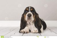 Bassett Hound Coloring Pages - Cute Tricolor Basset Hound Puppy Lying Down Looking at the Camer