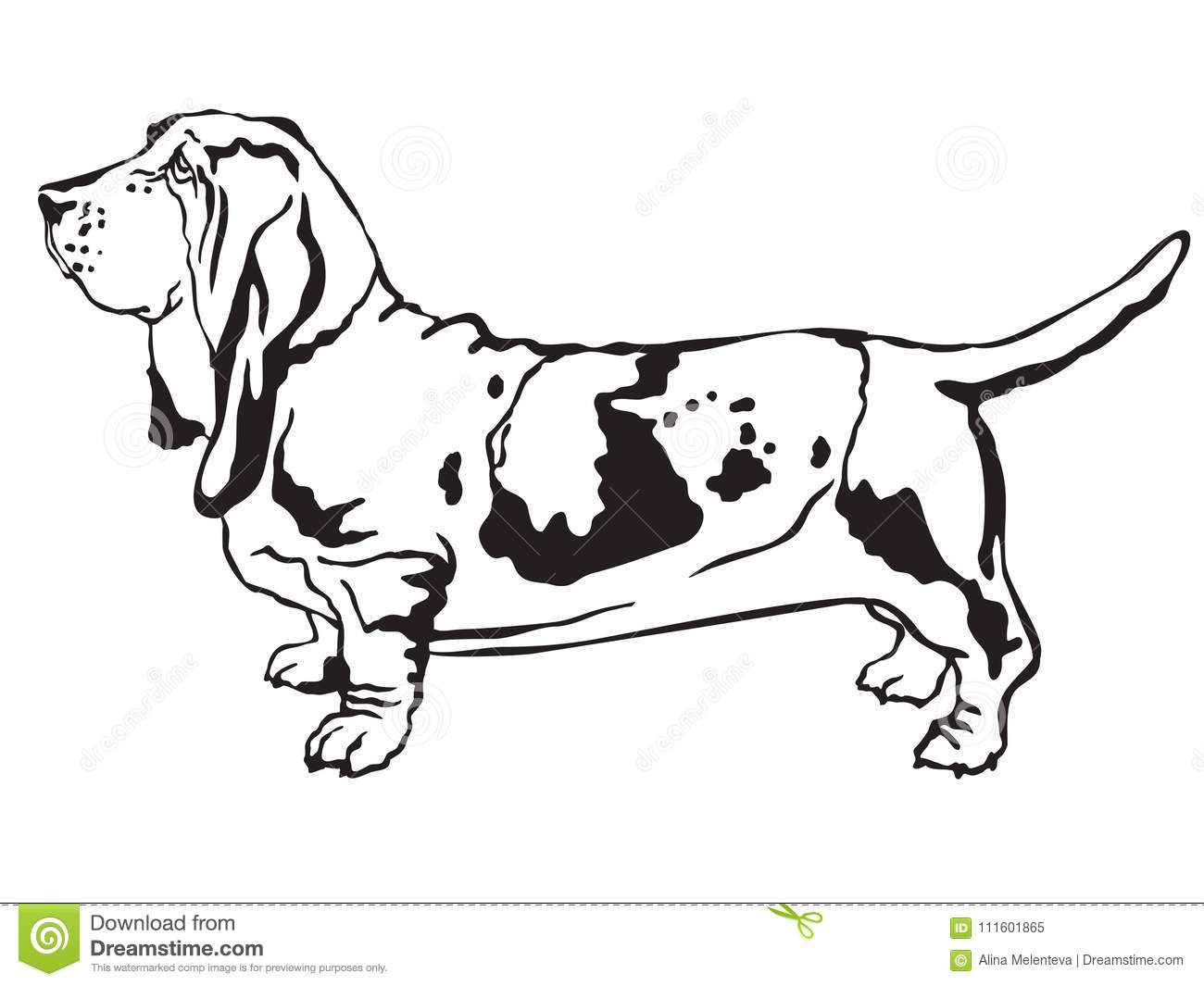 Bassett Hound Coloring Pages  to Print 5r - Save it to your computer