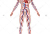 Circulatory System Coloring Pages - Circulatory System Labeled Diagram New the Heart and Circulation