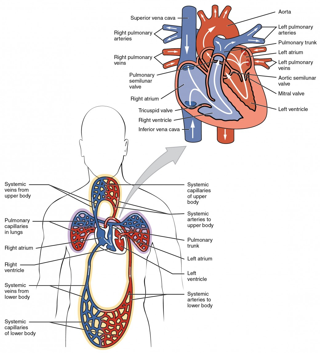 Circulatory System Coloring Pages Collection   Free ...