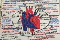 Circulatory System Coloring Pages - Make A One Page Detailed Study Guide Diy Infographs Studyguide