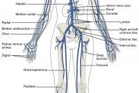 Circulatory System Coloring Pages - This Diagram Shows the Major Veins In the Human Body