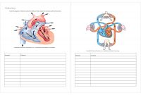 Circulatory System Coloring Pages - Worksheet Circulatory System Worksheets Kids Worksheet Fun