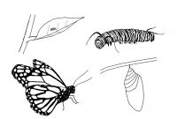 Monarch butterfly Coloring Pages - Monarch butterfly Coloring Page